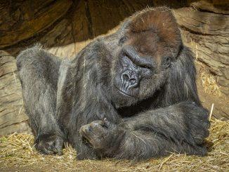 Grupo de gorilas da positivo en Covid-19 en un Zoo de California