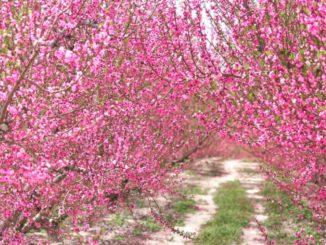 La floración color rosa de los frutales de Cieza en Murcia