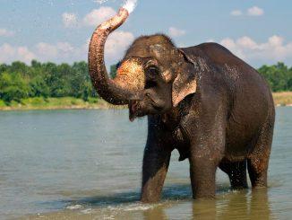 Elefante adulto