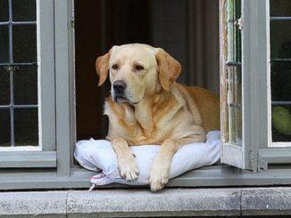 Enfermo de Coronavirus es salvado por los ladridos de su perro