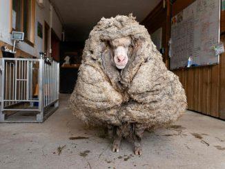 Baarack, la impresionante oveja con 35 kilos de lana