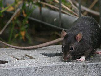 Madrid; detectados 20 focos de rata negra