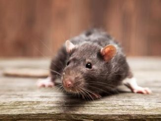 Madrid azotada por una plaga de ratas trepadoras