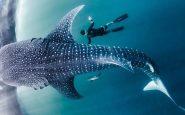 Buceadores españoles rescatan un tiburón ballena en Maldivas