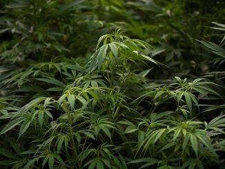 La marihuana, ya es legal en México