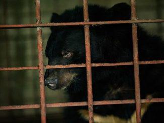 Vietnam: dos osos son rescatados tras 17 años encerrados