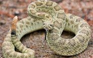 Hospitalizado grave tras ser mordido por una serpiente cascabel