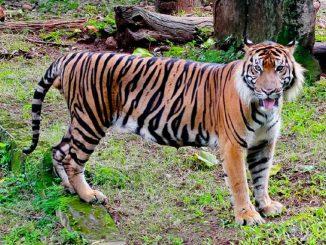 Tigre devorador de hombres rompe su jaula y desata pánico en Nepal