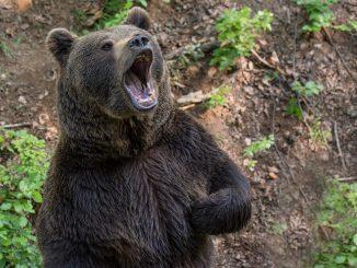 Asturias ataque oso