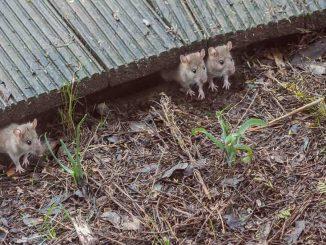 plaga ratones australia