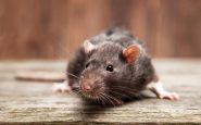 La Barceloneta en alerta por aparición de ratas de grandes dimensiones
