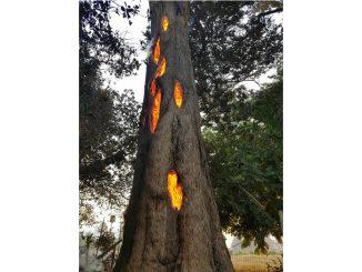 árbol del diablo