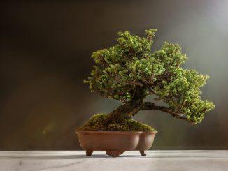 Bonsái: conozca la historia y el significado de estos árboles en miniatura