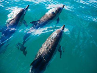 Delfines adaptan su esperma para reproducirse en el medio marino