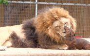 León y perro salchicha