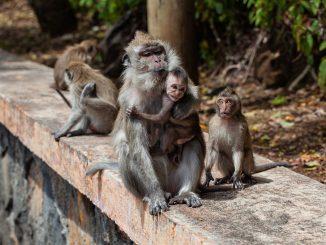 Virus del mono B: qué es y cuáles son sus síntomas