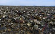 Millones de mejillones y almejas mueren por altas temperaturas en Canadá