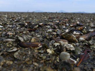 mejillones muertos en canada