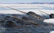 El colmillo gigante del unicornio marino tiene una función que nadie conocía
