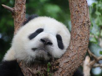 El oso panda ya no se encuentra en la lista de especies en peligro de extinción