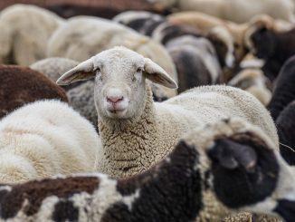 Un rebaño de ovejas encuentra una tumba de más de un siglo