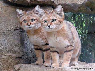 El gato del desierto más letal y difícil de observar de la Tierra