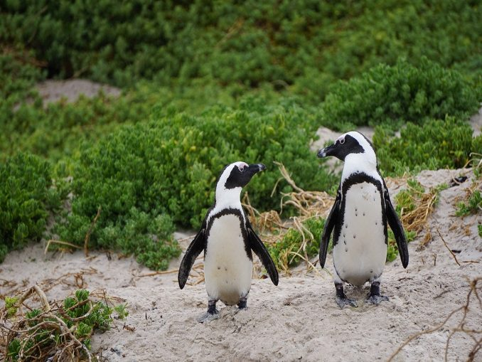 abejas atacan pinguinos