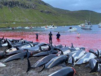 delfines-matanza-feroe