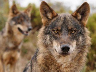 Caza del lobo y las Comunidades