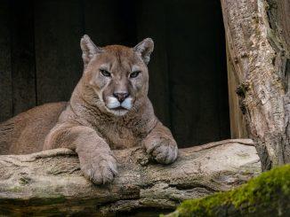 Puma de California